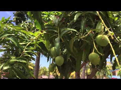 Как растут манго в природе