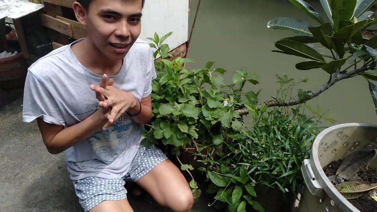 Growing oregano tumataba na sila dahil tag ulan/ halamang gamot /herbal medicine #Herbalmedicine