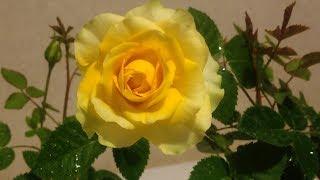 видео Цветы львиный зев - посадка и уход за капризным цветком