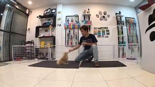 Cách huấn luyện chó cơ bản (#5 - Bản Livestream) Dạy chó CHỜ theo LỆNH CHỦ   BossDog