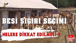 Hayvancılık Rehberi Besi Sığırı Seçimi