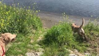 チェサピークベイレトリバーのRay、風羽、咲が川遊びしてます(о´∀`о) 水...