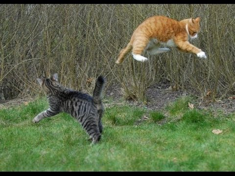 TWO CATS FIGHTING!!!! Funny Cats Funny Cats Compilation