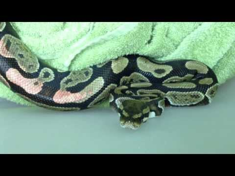 """James Askew presents """"Ball python in for generalized mixed dermatitis."""""""