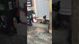 French Bulldog puppy and Cat playing!