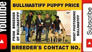 Bullmastiff puppies price |  breeder's contact no in india | Bullmastiff puppies qualities (vid 18)