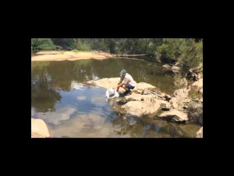 Trout Cod Stocking In The Upper Macquarie River