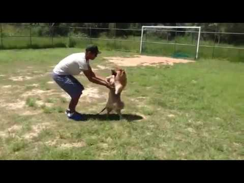Adestramento de cães Método Together 6* Aula Troy Chow Chow 5 meses