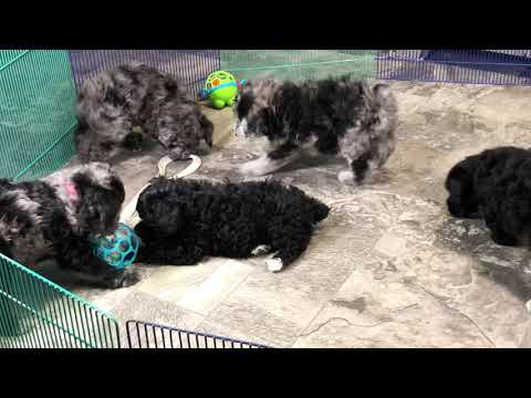 Ivy's schnoodle puppies 1/2/19