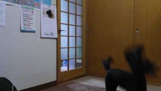 黒のダックス・プードル犬の風船遊び 。鼻先で風船を突いてバレーボール...
