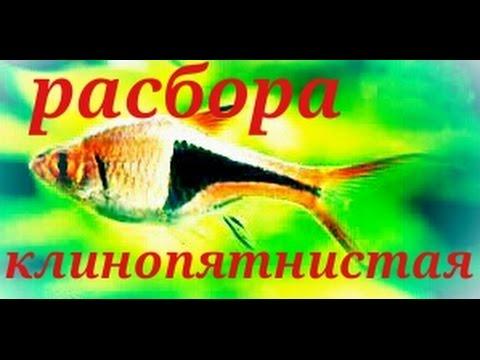 Аквариумные рыбки. Расбора клинопятнистая.Арлекин.