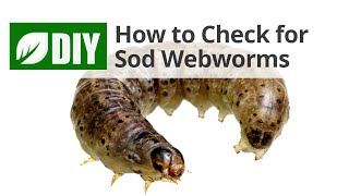 How to Check for Sod Webworm Damage