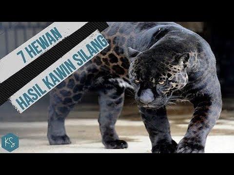 Perkawinan Jaguar Dan Singa!! INILAH 7 HEWAN HASIL KAWIN SILANG