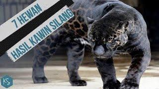 Perkawinan Jaguar Dan Singa!! INILAH 7 <b>HEWAN</b> HASIL <b>KAWIN</b> ...