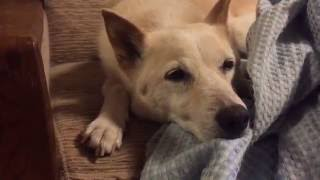 柴犬系雑種犬、眠いよー(*^.^*) Funny animal dog shibainu kei japan(...
