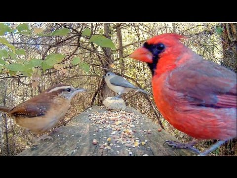 Videos For Cats to Watch - Forest Songbirds
