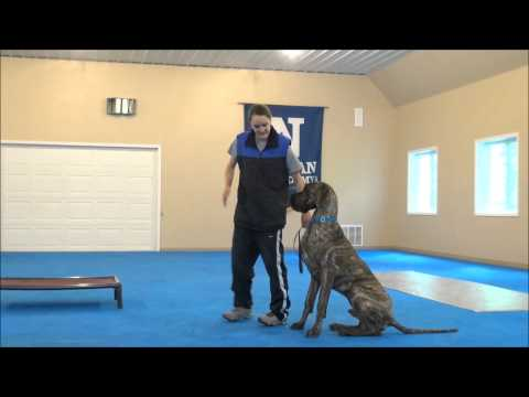 wellington-(great-dane)-boot-camp-dog-training-video