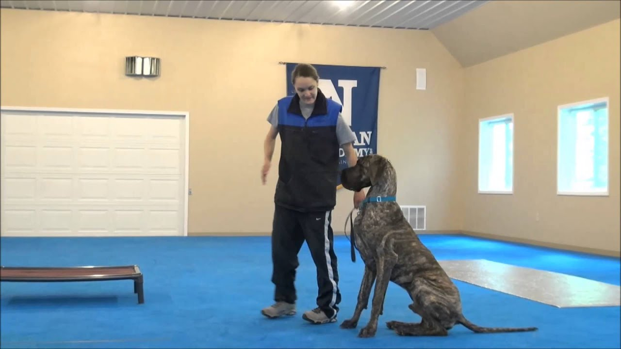 Great Dane - A Complete Guide To One of the World's Biggest