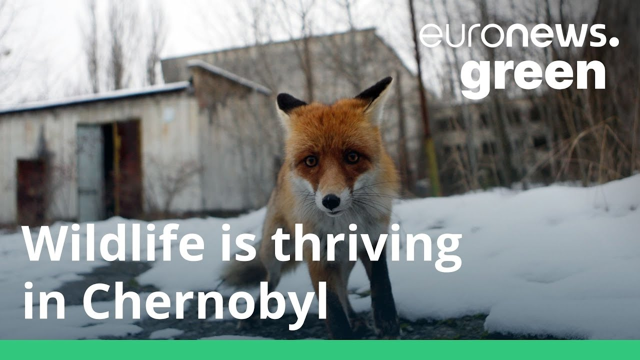 Wildlife Is Now Thriving Again in Chernobyl–Even If Humans Won't for Another 24,000 Years
