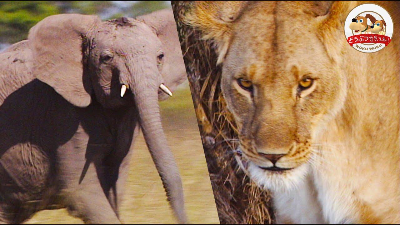 【命がけの奇策】迫り来るゾウから赤ちゃんライオンを守れ!母ライオンがとった驚きの行動とは【どうぶつ奇想天外/WAKUWAKU】