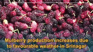 Mulberry production increases due to favourable weather in Srinagar