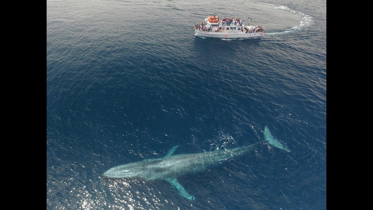 Blue whale dwarfs boat - YouTube