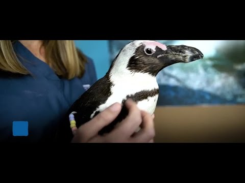 Purps the Penguin: Walking Again with a 3D Printed Boot