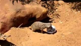Meerkats, Monarto Zoo in South Australia