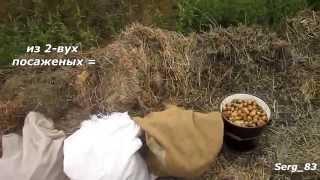 Картофель под соломой, сеном, мульчой уборка урожая 2014(Хотел поделиться своим опытом который я получил при новом для себя методе посадки картофеля под мульчу...., 2015-01-11T22:29:48.000Z)