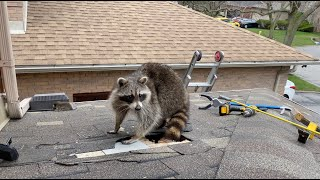 Very Protective Mother Raccoon Runs For Her Baby
