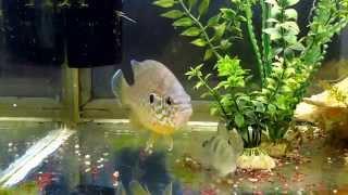 Солнечный окунь с Днепра живет в аквариуме часть 3 - год спустя.