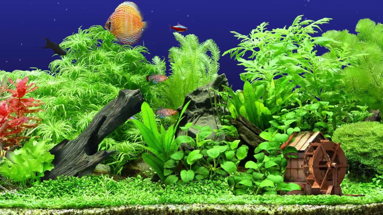 Freshwater Aquarium ★ HQ 1080p 60fps ★ Screensaver ★ 3 ...