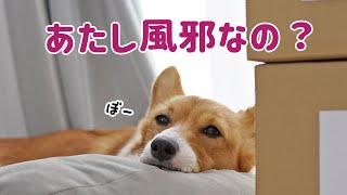 犬の風邪、ケンネルコフの疑いです...