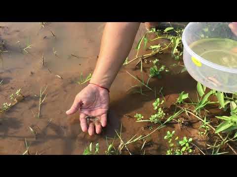 Go To Catch Beta Fish In The Field   Fishing Beta Fish Dumbo & Dragon   Fishing Betta In Cambodia