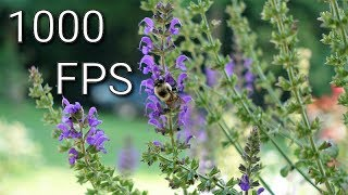 Slow Motion Bees Flying! 1000fps