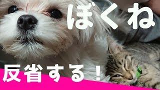 続・先住犬たちの作戦会議「ちゅーぶ君の反省」 【関連動画】 かわいい...