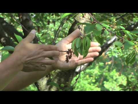 European Brown Rot Succeptibility On Tart Cherry - Montmorency Vs Balaton