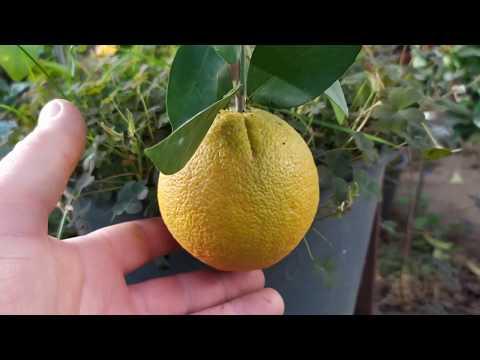 Вопрос: Какие апельсины называют пупковыми shy?