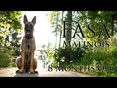 Malinois puppy - Fasa - 8 months old