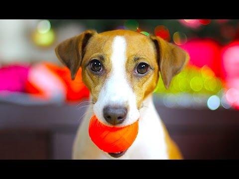 Вопрос: Почему собакам нравится играть с пищащими игрушками типа курицы?