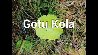Gotu Kola - Ayurvedische Heilpflanze mit vielfältigen Effekten