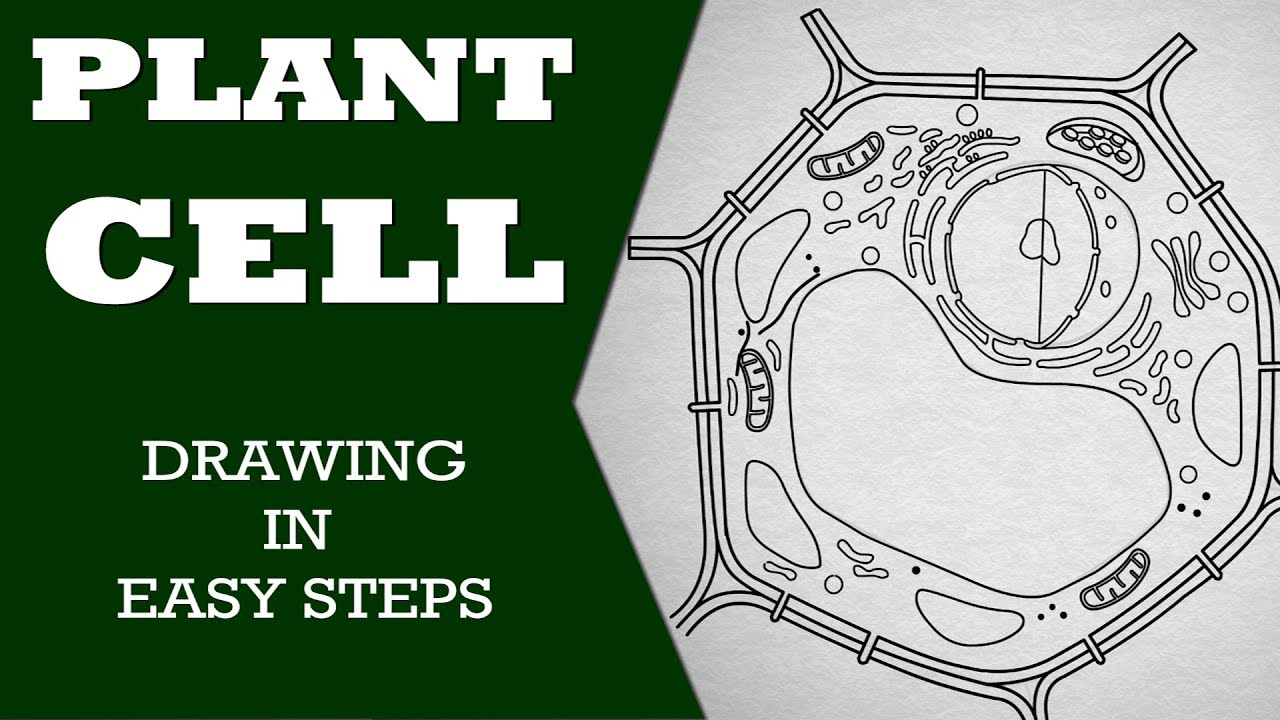 How To Draw Plant Cell In Easy Steps Fundamental Unit Of Life