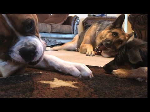 🦴 AMSR Dogs crunching Bones