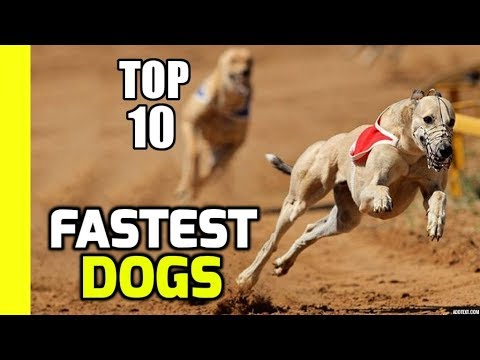 Top 10 Fastest Dogs in the World