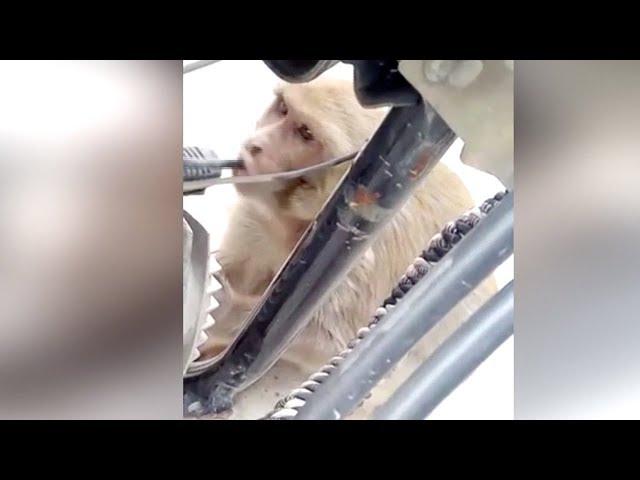 Un mono adicto a la gasolina pone en jaque a los motoristas