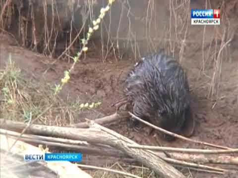 На юге Красноярского края прошла перепись бобров