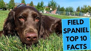 Field Spaniel  TOP 10 Interesting Facts