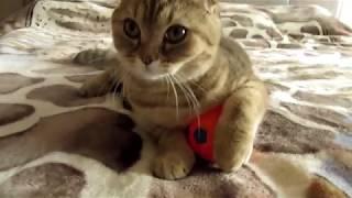 Funny kitty. Шотландская кошка играет с мячиком. Веселое видео для детей.