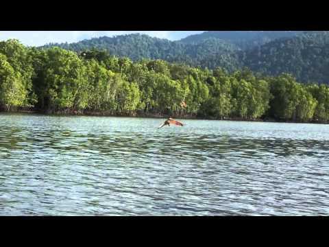 Feeding Eagles in Langkawi Mangrove