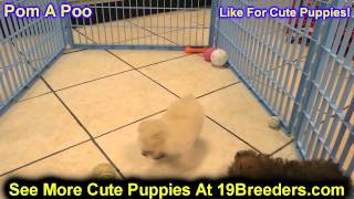 Pomapoo, Puppies, For, Sale, In, Minneapolis, Minnesota, Mn, Inver Grove Heights, Roseville, Cottage